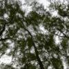 Tree swaying