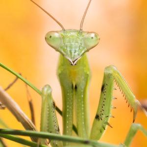 close up of praying mantis