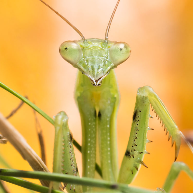 close up of praying mantis
