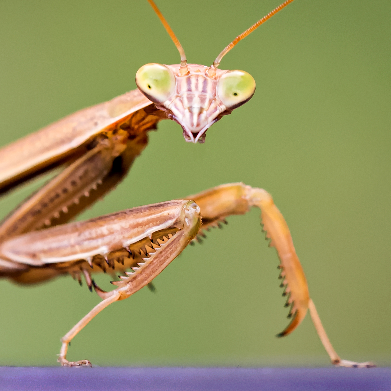 A Praying Mantis.