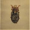 A june beetle.