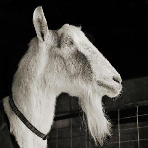 A profile portrait of a goat.