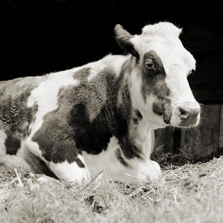 A cow sits on hay.
