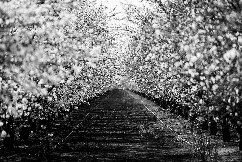 A grove of almond trees in blossom.