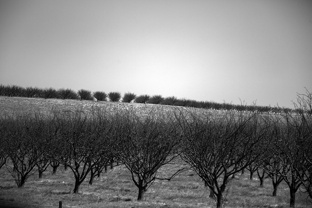 An orchard of dead almond trees