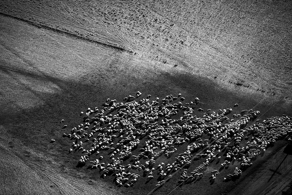 Aerial view of sheep grazing.