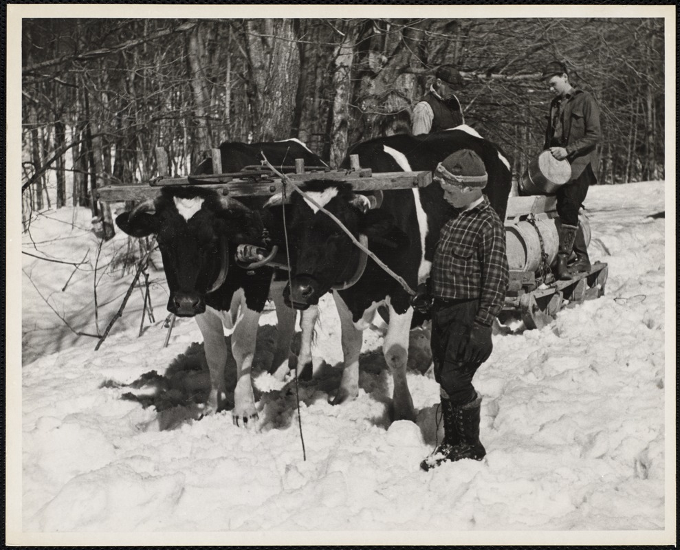 AG Archive - cow pulling syrup