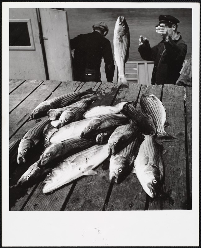 AG Archive- striped bass