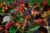 red brambles