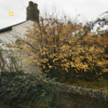 yellow tree in front of house